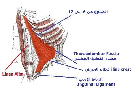 تشريح عضلات البطن الداخلية TVA
